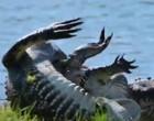 Com mordidas e rolos jacarés travam luta mortal em lago nos EUA