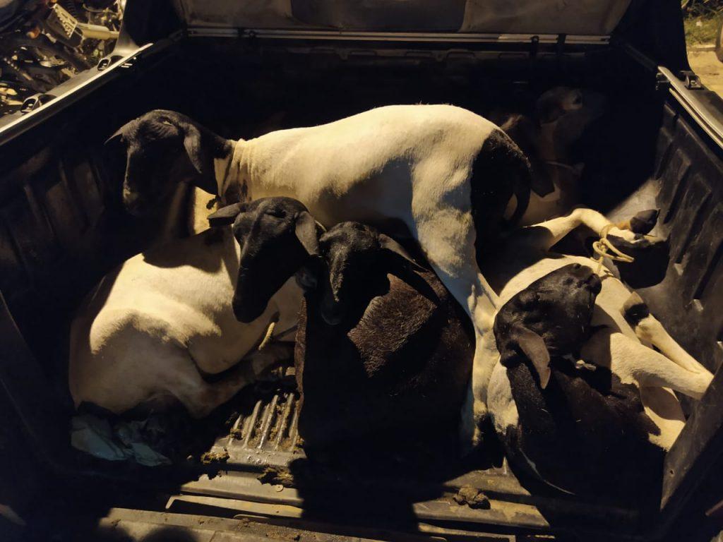 Animais furtados da zona rural de Pio IX e que seriam vendidos no Ceará. (Foto: Reprodução WhatsApp)
