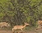 Vídeo flagra briga por presa entre hiena e leopardo; assista