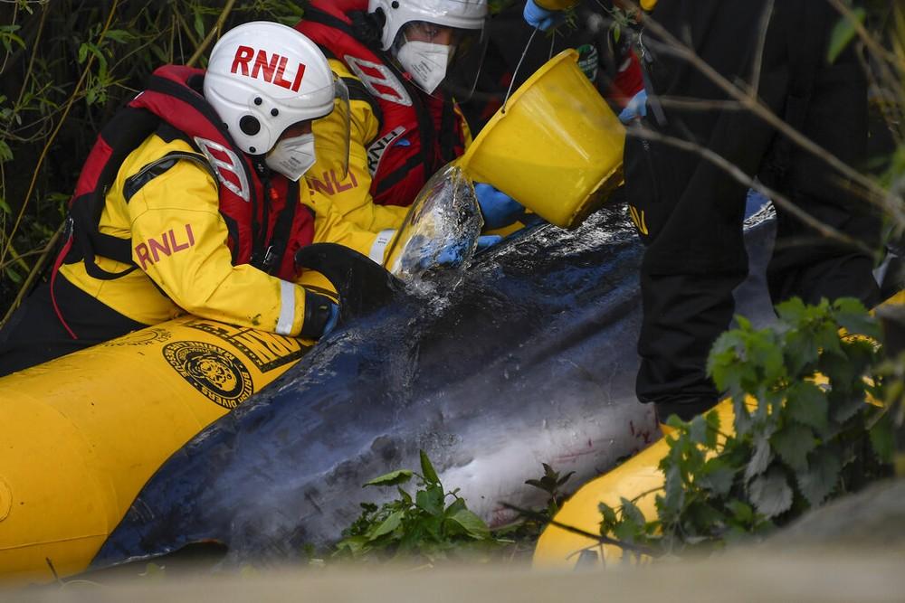 Socorristas tentam salvar filhote de baleia encalhado no rio Tâmisa, no Reino Unido — Foto: Alberto Pezzali/AP Photo