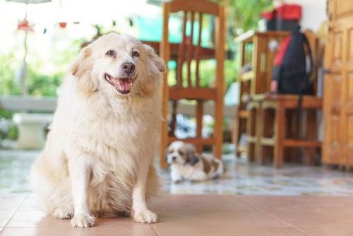 Cão obeso: há chances de ser genético   FOTO: Sghutterstock