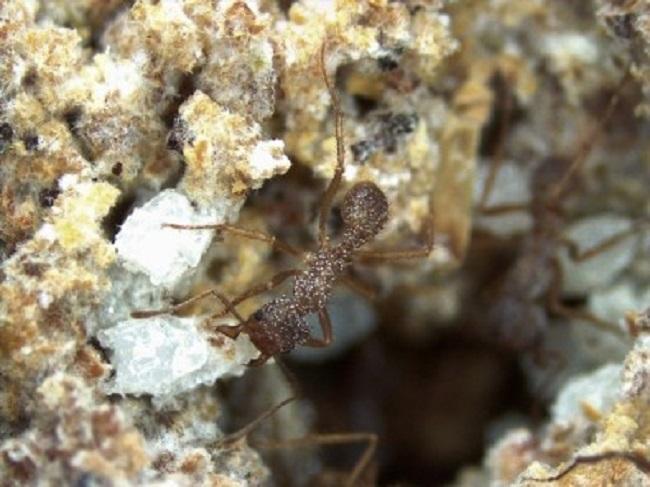 Molécula é produzida por bactérias que vivem em simbiose com os insetos. Em experimentos com camundongos, mostrou-se capaz de matar um fungo causador de doenças em humanos (imagem obtida com auxílio de um estereomicroscópio permite visualizar manchas brancas no exoesqueleto da formiga, que correspondem à bactéria simbionte; foto: Taise Fukuda/USP