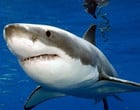 Tubarão branco nada da África do Sul até a Austrália em apenas 99 dias