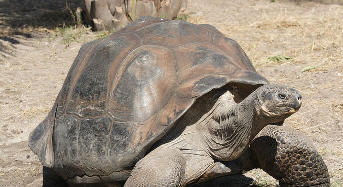 Tartaruga gigante é uma expécie em extinção. (Foto: wikipédia)