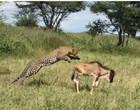 Leopardo aproveita descuido de gnu e mostra ataque fulminante em vídeo