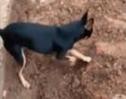 Cachorro de traficante ajuda policiais a encontrar drogas do dono; vídeo