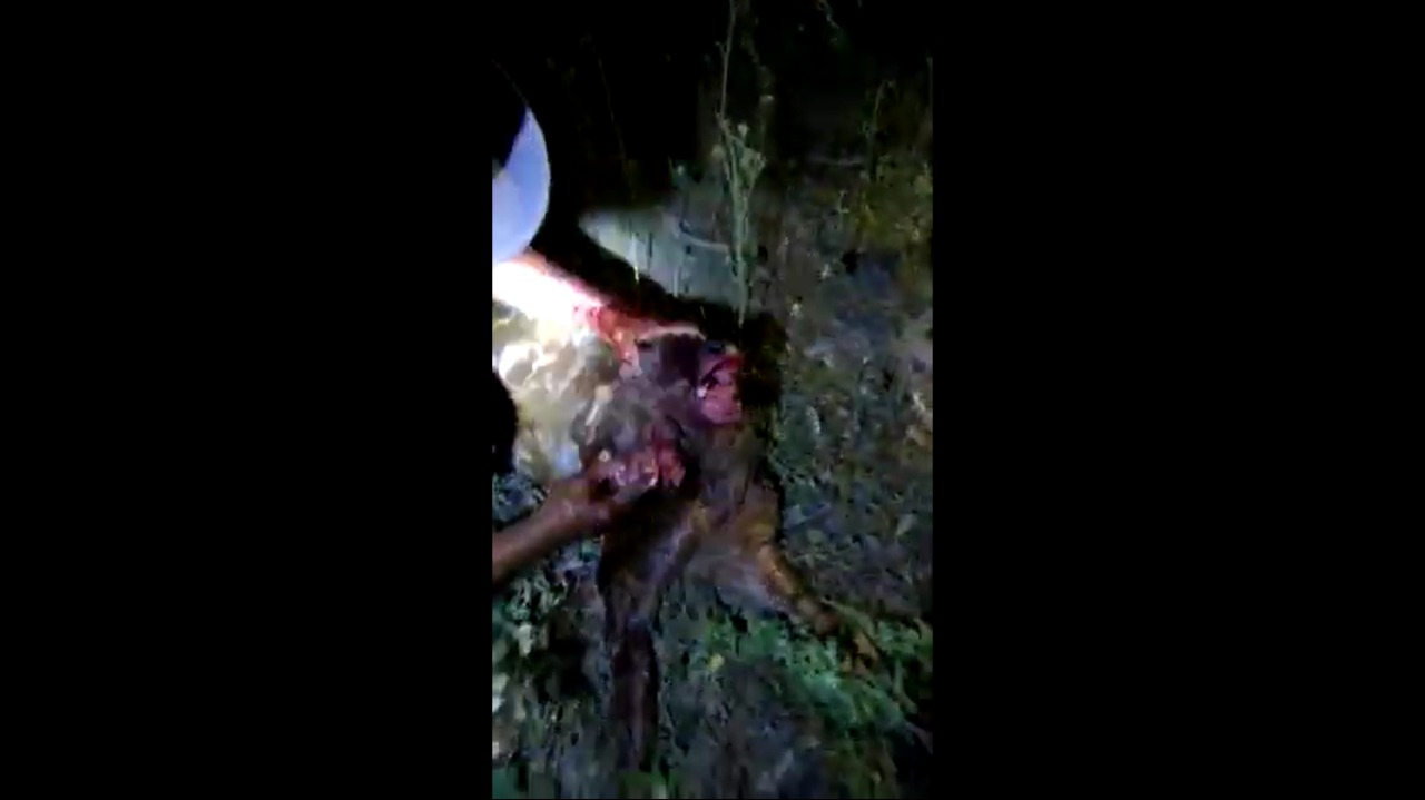 Bezerro com duas cabeças nasce no interior do Piauí (Foto: Reprodução/ Youtube)