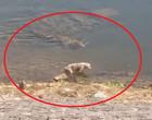 Vídeo angustiante: crocodilo devora cachorro às margens de rio na Índia