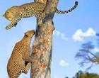 Vídeo: briga impactante entre leoa e leopardo em queda de árvore