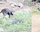 Cachorros de rua comem restos humanos de mortos pela Covid-19 na Índia