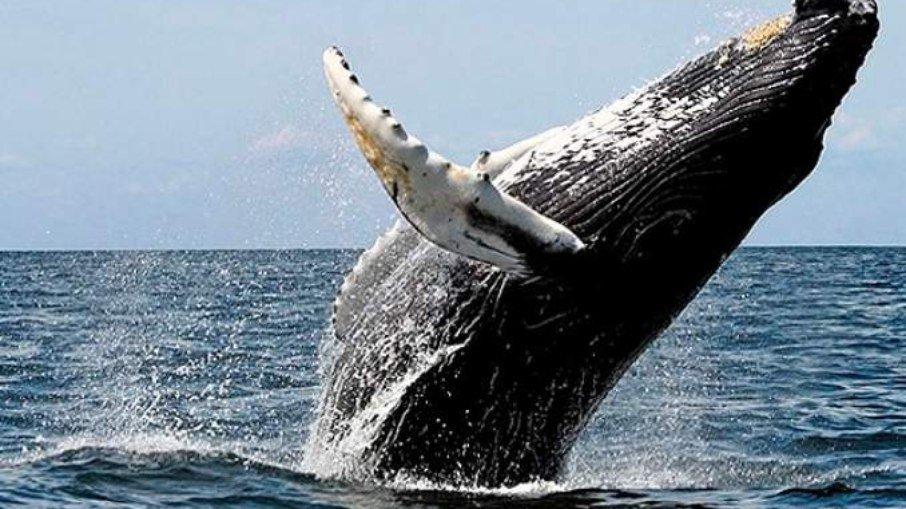 A baleia emergiu à superfície e cuspiu o pescador. (Foto: Divulgação