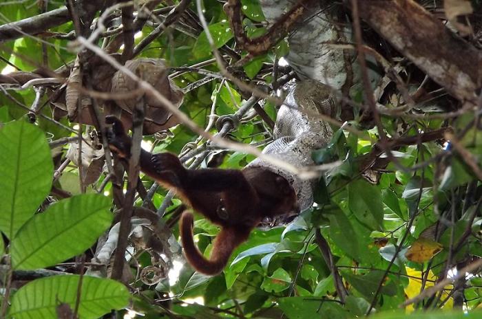 Jiboia amarela ataca e devora macaco adulto inteiro na Amazônia- Foto: Live/Science