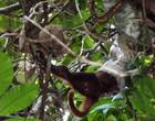 Jiboia amarela ataca e devora macaco adulto inteiro na Amazônia; vídeo