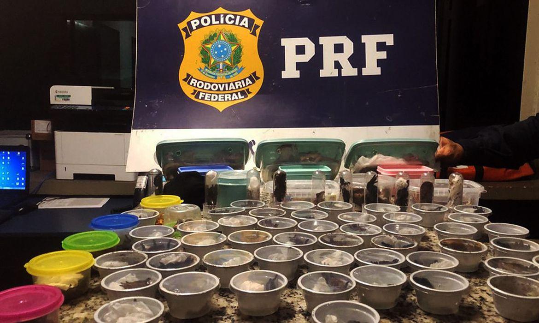 O traficante internacional foi preso com cerca de 200 animais vivos, sendo 50 aracnídeos de espécies variadas, 80 besouros, 25 sapos e 20 lagartos - Foto: Divulgação/PRF