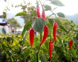 Pimenta malagueta é eficaz no combate as pragas