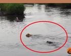 Crocodilo trava garras nas costas de leão que atravessava um rio; vídeo