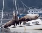 Leões-marinhos gigantes afundam barco de pescador e vídeo viraliza
