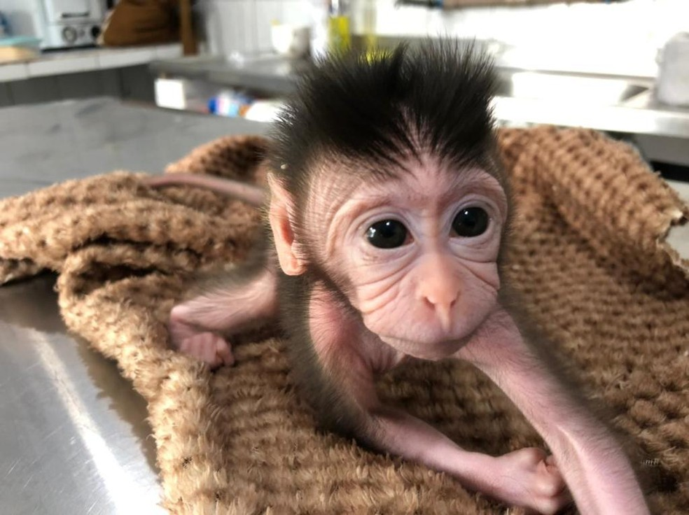 Bebê macaco foi rejeitado pela família em zoológico de Balneário Camboriú (SC) — Foto: Zoo do Complexo Cyro Gevaerd/Divulgação