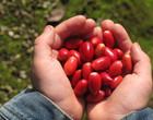Fruta milagrosa e rica em nutrientes é capaz de mudar o sabor das coisas