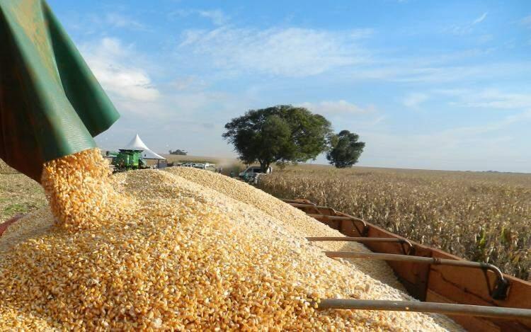 Produção de milho no Mato Grosso do Sul sofre com seca- Foto: Divulgação