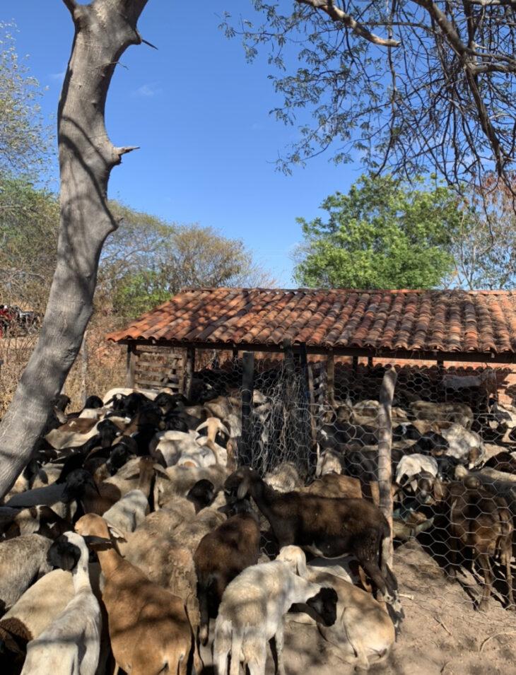 Famílias do Semiárido do Piauí recebem Caprinos do Governo do Estado/ Foto: Reprodução/Ccom