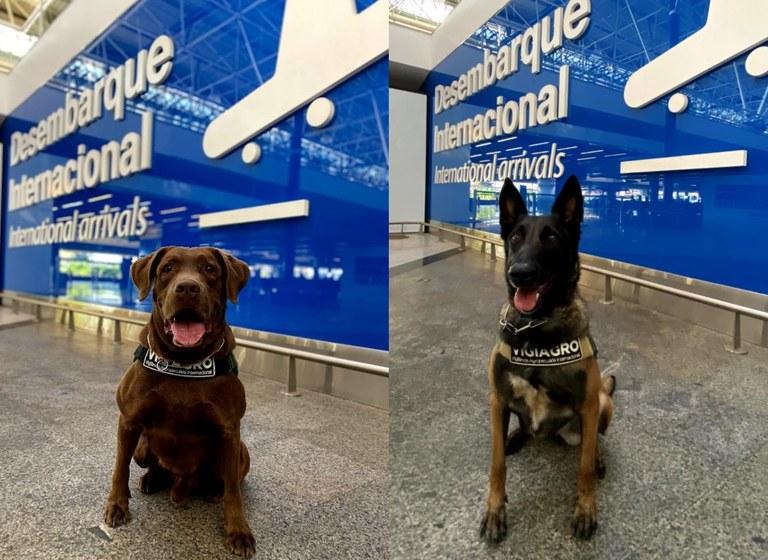 Os cães Léo e Frida já atuam no Aeroporto de Brasília(Foto: Aeroporto de Brasília)