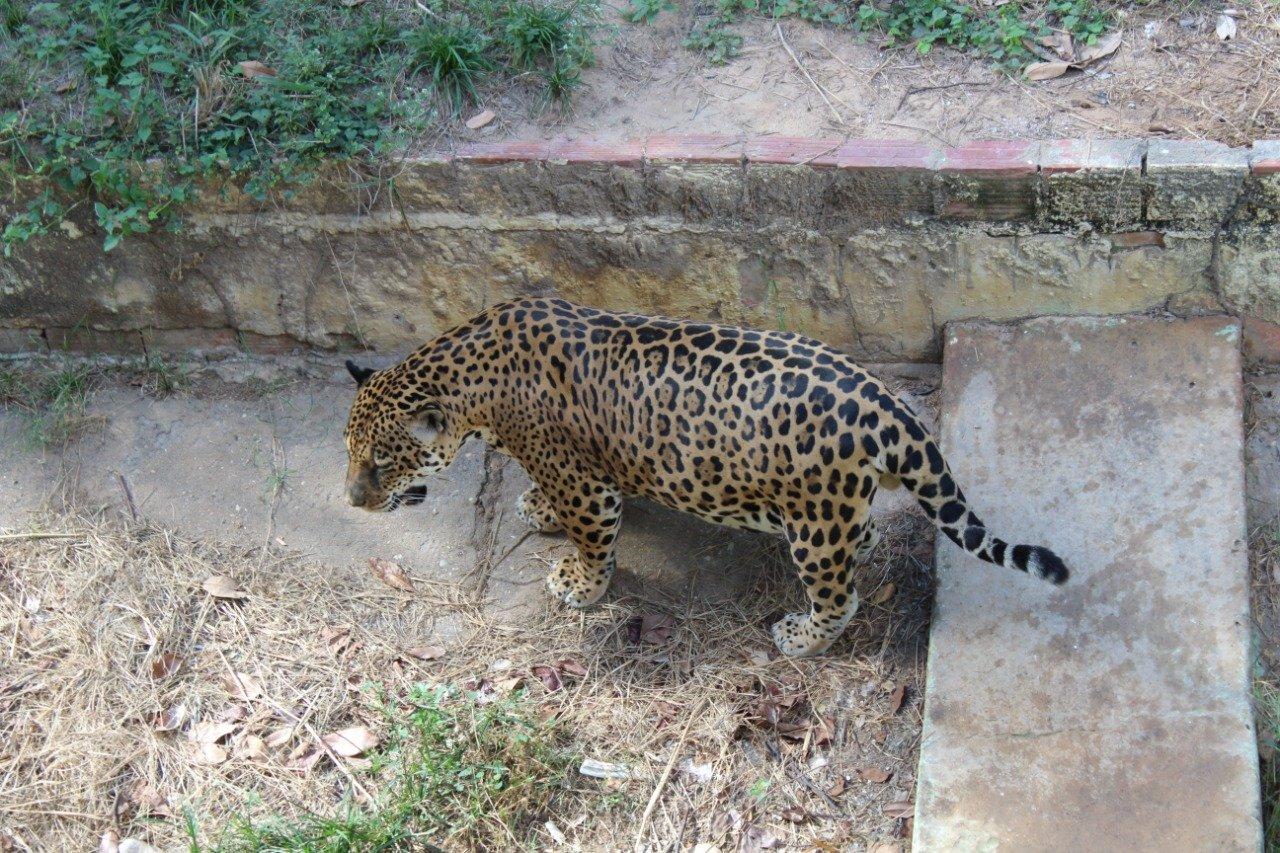 Onça é um dos animais que pode ser transferido. Crédito: Raíssa Morais.