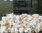 Duas crianças de 10 e 12 anos são acusadas de matar 700 galinhas a pauladas