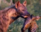 Em imagem rara, hiena carrega cabeça de zebra na boca e garante almoço
