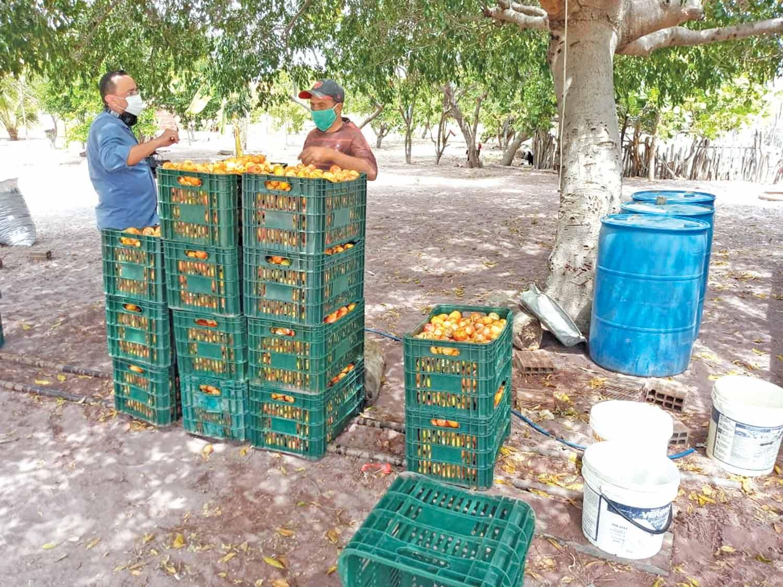 Cooperativa trabalha com produçãode caju