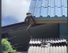 Cobra píton olímpica faz mergulho do telhado para caçar peixe na Tailândia