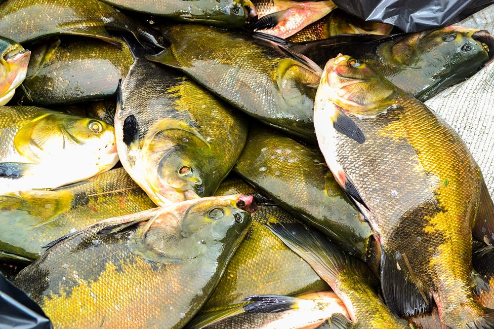 Prefeitura de Joaquim Pires, realiza a entrega de peixes para famílias - Imagem 9