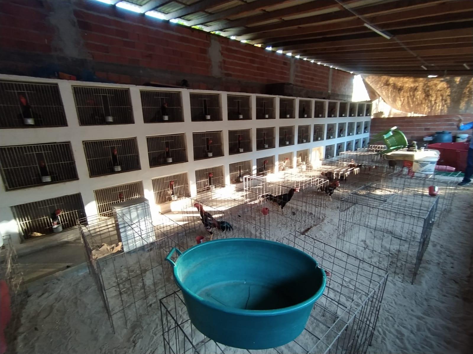 Descoberta rinha com mais de 30 galos que seriam usados para brigar entre si. (Foto: Ivan Lima)Descoberta rinha com mais de 30 galos que seriam usados para brigar entre si. (Foto: Ivan Lima)