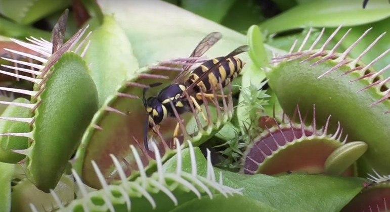 Famosa espécie de planta sabe como lidar com as vespas. (Foto: