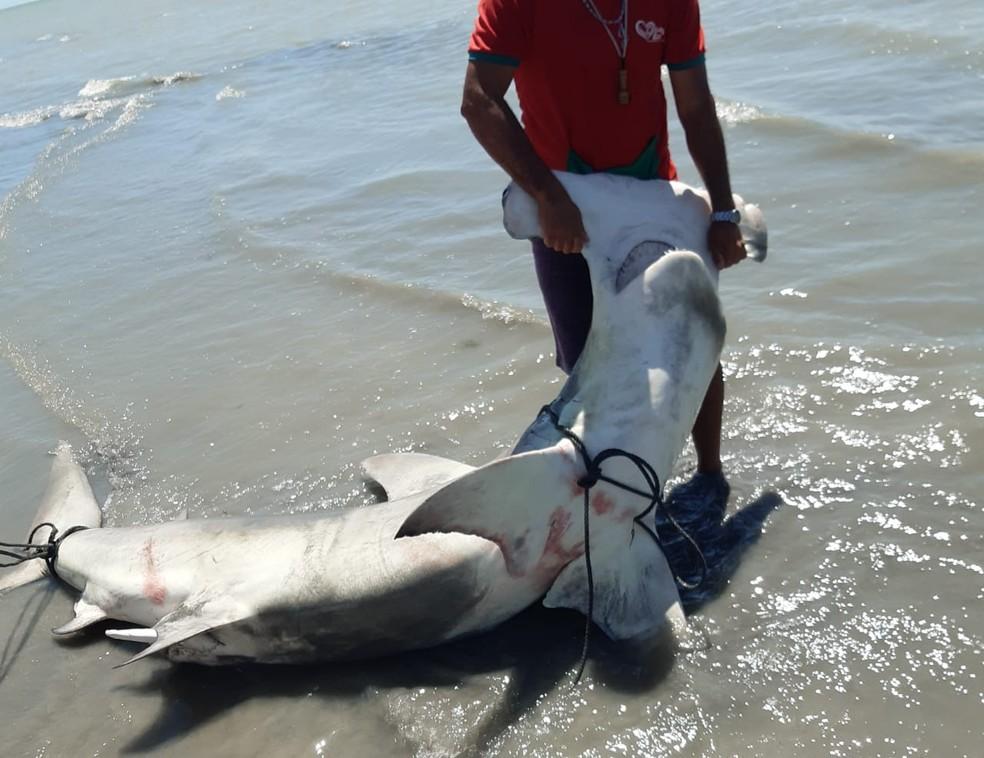 Homem segura tubarão-martelo na praia de Recife. (Foto: - Reprodução - WhatsApp)