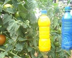 Produtores de melancia usam garrafas para controle de pragas em Piripiri