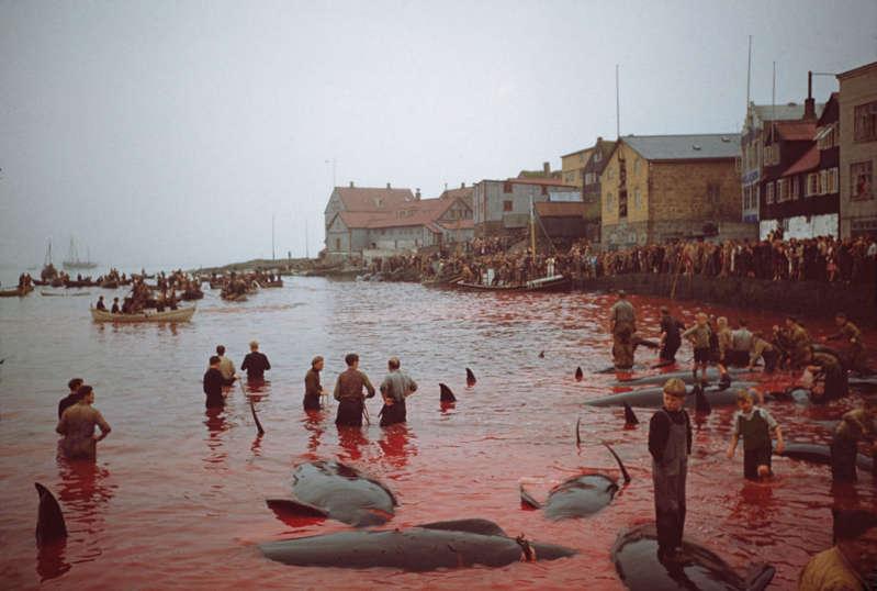 Matança de baleias em 1947 nas Ilhas Faroé; anualmente, é comum que o mar fique vermelho por conta da matança de cetáceos no território dinamarquês. (Foto: Yuri Ferreira)