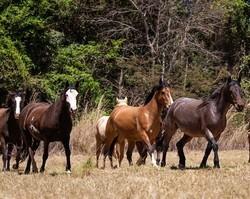 Cavalos comem melaço e escutam música clássica