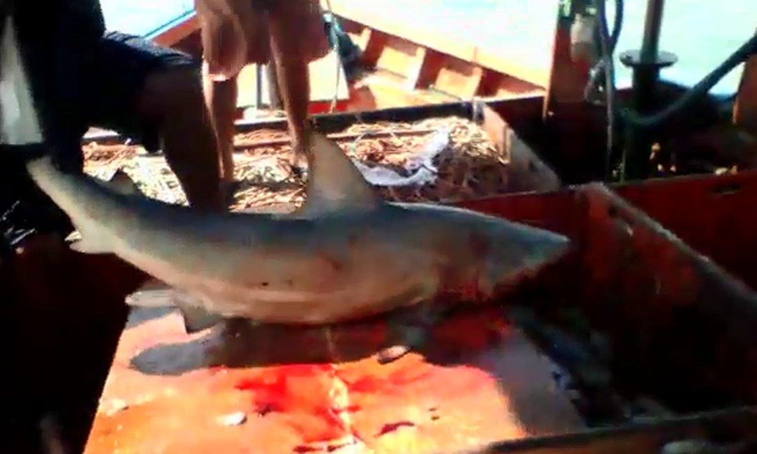 Tubarão mordeu pescador em alto mar, a 2km da costa paraense Foto: Reprodução