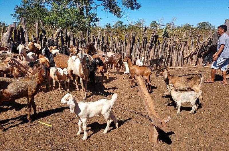 Piauí é destaque na produção de caprinos (UFPI)