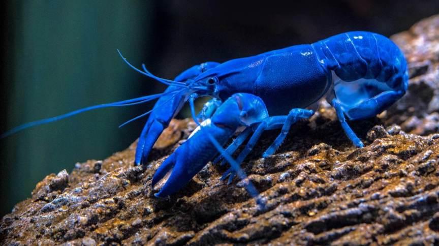 Lagosta azul em aquário do Cairns Aquarium, na Austrália. Foto: David Clode/Unsplash (2018)