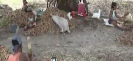 Quebradeiras de coco babaçu mostram orgulho na profissão e falam como é a vida no interior