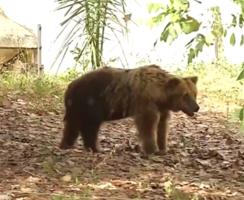 Começa hoje a transferência da ursa Marsha