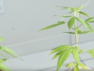 MA: Menor de idade é apreendido acusado de cultivar maconha em Timon