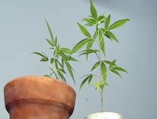 Menor de idade é apreendido acusado de cultivar maconha em Timon