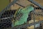Papagaio acusado de ser olheiro de ponto de drogas é transferido