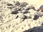 Pesquisa ajuda a preservar tartarugas no litoral do Piauí