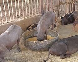 Produtores de suínos serão indenizados pelo governo por conta da peste