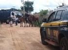 Polícia faz ação para apreender animais soltos nas rodovias do Piauí
