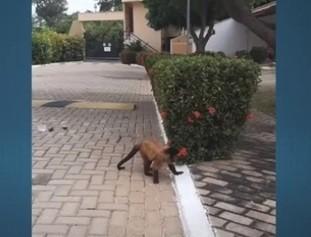 Macaco que invadiu condomínio e mordeu morador é capturado